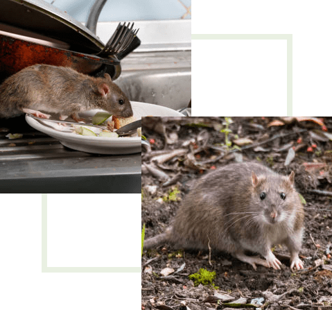 rodents-in-home